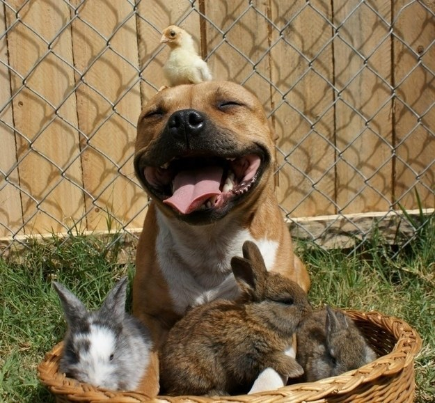 pitbull dyr